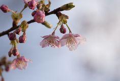 sakura Prunus Mume, N21, Clay Projects, Ivory, Fruit, Pretty, Flowers, Plants, Pink Blue