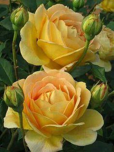 Rosa Gold celebration.