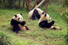 Sangre del oso panda podría ser base de un nuevo antibiótico: estudio
