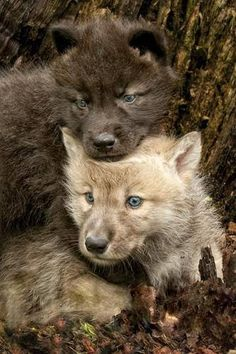 wolf Pups are born with blue eyes which change as the grow older.