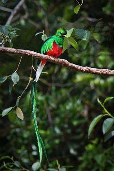 resplendent-quetzal-6