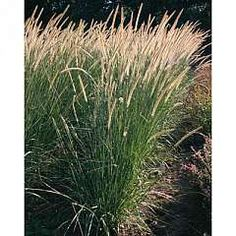 Pennisetum macrourum Tail Feathers - Hardy Perennial