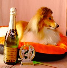 """Lovesome KISS FORM A ROSE """"Sisi"""" Champion of Champon's  Leszno 2015 (Best of Breed)"""