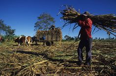 This is how Fairtrade sugar looks like - at least when it is harvested.