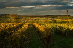 """Vineyards - """"Kellergasse Maulavern"""" -  #weinviertel #weinviertlertourismus #niederösterreich #loweraustria #austria #farmland #countryside #tourism #leisuretime #homeland Vineyard, Places, Outdoor, Outdoors, Lugares, Outdoor Life, Garden"""