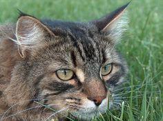 Cat closeup - http://www.1pic4u.com/2014/05/11/cat-closeup/