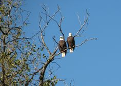 Double Eagle Sighting on the banks of the Mississippi River in St. Paul, MN