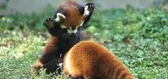 Resultado de imagen de pandas rojos