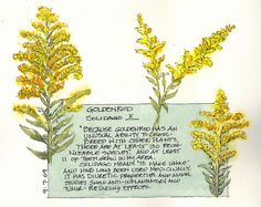 goldenrod-  *Helps to clear up kidney and bladder stones      * Used in the treatment of arthritis      * Clears mucus from the upper respiratory tract     Goldenrod increases the flow of urine, which helps wash out bacteria and kidney stones. It may also soothe inflamed tissues and calm muscle spasms in the urinary tract as well. Goldenrod cannot treat urinary conditions alone, but works very well with other treatments.