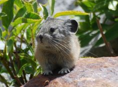 Here is today's cute pika photo. I encountered this little guy in Yosemite. Love wildlife? Like and share the National Wildlife Federation's California page for more great photos and to help protect nature https://www.facebook.com/NWFCalifornia