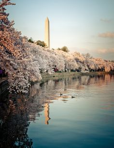 Cherry Blossoms along the tidal basin, Washington DC. Sometimes crowded but always worth the visit.