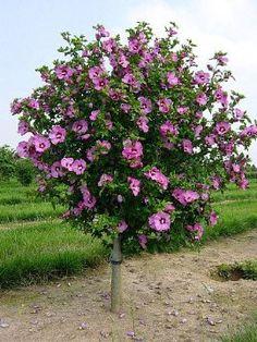 Aphrodite Rose of Sharon - Hibiscus - Althea - Zone 5 - 10 Garden Shrubs, Flowering Shrubs, Garden Trees, Landscaping Plants, Trees And Shrubs, Front Yard Landscaping, Lawn And Garden, Trees To Plant, Garden Plants