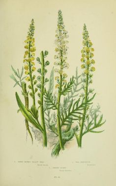 v.1 - The flowering plants, grasses, sedges, & ferns of Great Britain - Biodiversity Heritage Library