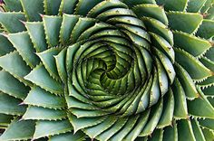 Rare Spiral Aloe Plant Seeds - Aloe Vera with a Twist, Fresh Mountain Aloe Polyphylla Seeds, New Seeds Packet - HR023