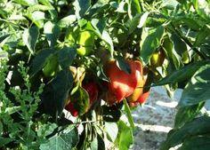 Paprika Nr. 3, Pflanzung, Pflege und Gewächshausanbau - Ein Tomaten-Paprika (Türkische Paprikasorte)
