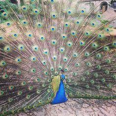 It is love season for the peacocks of our gardens!!! ❤️❤️ #aroundparis #chateaudurivau #jardin #giardino #peacock #paon #paysdeloire #potager #loirevalley #loire #birds #feather #nature #naturegram #fun #beautiful #spring #saumur