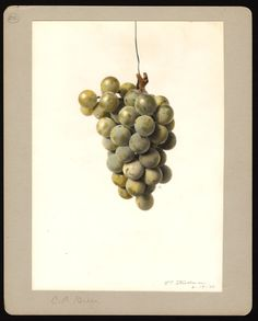 """Artist: Steadman, Royal Charles, b. 1875 Scientific name: Vitis Common name: grapes Geographic origin: Rochester """"U.S. Department of Agriculture Pomological Watercolor Collection. Rare and Special Collections, National Agricultural Library, Beltsville, MD 20705"""""""