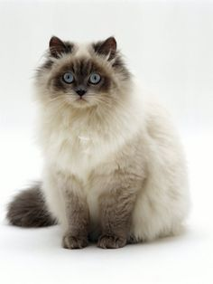 My Favorite Cat, Birman. Looks Like A Chocolate Point Or A Seal Point.  Oscar Is Of Lighter Coloring, Lilac Point.