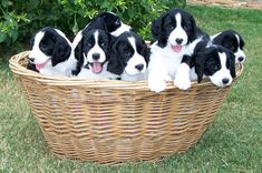 Dallas  Fort Worth English Springer Spaniel Association site ....tells about how to find a quality puppy