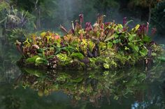Carnivorous island: Sarracenia, Heliamphora, Pinguicula, moss, and ferns.