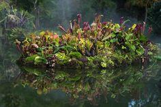 Carnivorous island: Sarracenia, Heliamphora, Pinguicula, moss, and ferns.