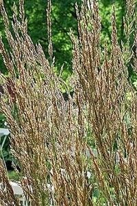 When To Plant Ornamental Grass Pase seeds ornamental grass seed avena sterilis seeds 329 ornamental grass seed calamagrostis stricta seeds workwithnaturefo