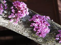 Little sprouts of redbud flowers :)