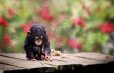 animals-animals-animals:Baby Chimp (by jinterwas)