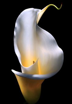 zantedeschia aethiopica, common name Calla lily