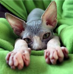 Sphynx Cat. a hairless little kitten or an adult. it's hard to tell.