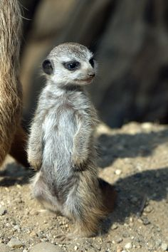 meerkat baby with a but of adorable looking attitude