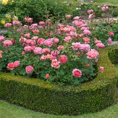 Beautiful Roses, Beautiful Gardens, Austin Rosen, Rosen Beet, Rose Garden Design, Decoration Plante, Shrub Roses, David Austin Roses, Garden Shrubs