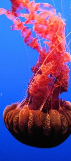 "Black Sea Nettle (""Chrysaora Achlyos""), Monterey Bay Aquarium, Monterey, California"