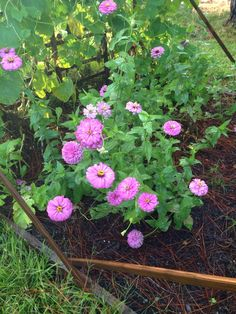 Allowed to reseed themselves, these zinnias seem to return to the color purple.