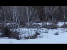 You decide: Bigfoot sighting in American Fork Canyon?   fox13now.com if you watch carefully you see there is more than just 1 Bigfoot.