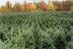 I want to live on a Christmas tree farm