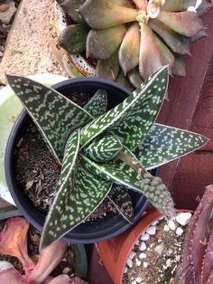 Gasteraloe hybrid