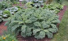 Cabbage, Vegetables, Plants, Gardening, Lawn And Garden, Cabbages, Vegetable Recipes, Plant, Brussels Sprouts