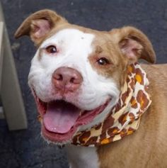 TO BE DESTROYED 07/10/16*AVERAGE RATED!*A volunteer writes: Saoirse will give her best smile the day she will leave us for a new life and a new owner or family. A freedom smile that will acknowledge her given name, Saoirse, which is the Irish for freedom. Saoirse was found as a stray, a well cared for dame, elegantly dressed and very healthy looking. She walks like a hound, nose down, sniffing her way through, tail up and quite busy.... She does her business on the way. She meets other dogs…
