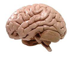 structuur van hersens