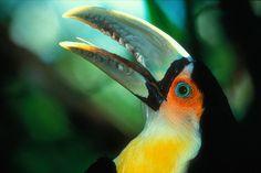 Tucano do Bico Verde - Aves Ornamentais - Tucano e Araçari   Fazenda Visconde