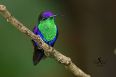 Colibrí Zafiro Coroniazul -Violet-crowned Woodnymph- (Thalurania colombica) | Flickr - Photo Sharing!