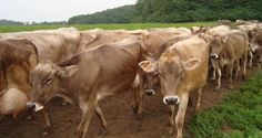The herd of Brown Swiss cows at Shelburne Farms are lovingly cared for, and they produce high-quality milk which goes into the farm's award winning farmhouse cheddar cheese! The cows are brought in from pasture for milking twice a day.