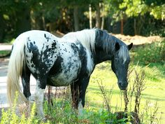 Beautiful grey appaloosa