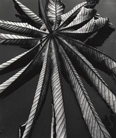 Brett Weston - Leaf on Asphalt, Hawaii, 1978
