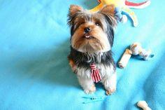 My boy 🐶 Yorkshire Terrier, My Boys, Pets, Animals, Animais, My Children, Animales, Animaux, Yorkie