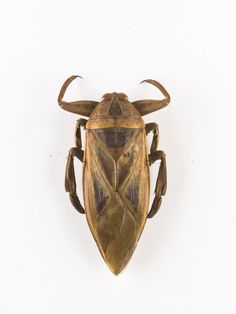 Lethocerus sp., giant water bug, dried specimen