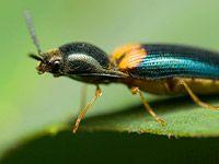 Drátovci, larvy kovaříků, poškozují zeleninu. Jak jim v tom zabránit?