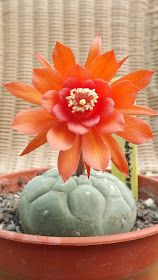 Marycactus: MATUCANA MADISONIORUM.