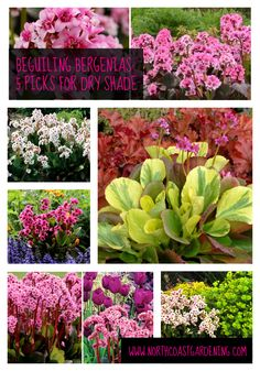Bergenia - sturdy, tolerates dry shade once established